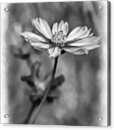Spring Desires 2 Bw Acrylic Print