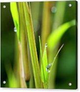 Spring Droplets Acrylic Print
