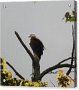 Spring Eagle II Acrylic Print