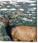 Spring Elk Acrylic Print