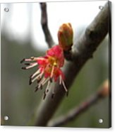 Spring Flower Closeup 1 Acrylic Print