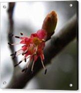Spring Flower Closeup 2 Acrylic Print