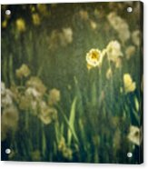 Spring Garden With Narcissus Flowers Acrylic Print