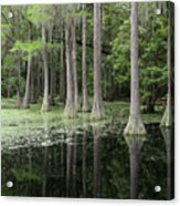 Spring Green In Cypress Swamp Acrylic Print