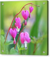 Spring Hearts - Flowers With Vignette Acrylic Print