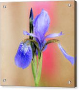 Spring Iris 2 Acrylic Print