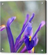 Spring Iris Three Acrylic Print