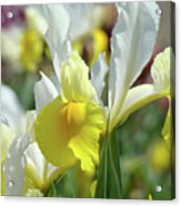 Spring Irises Flowers Art Prints Canvas Yellow White Iris Flowers Acrylic Print