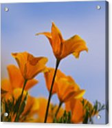 Spring Is A Poppin' Acrylic Print