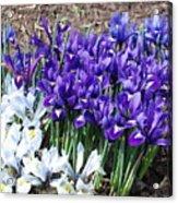 Spring Japanese Iris Acrylic Print