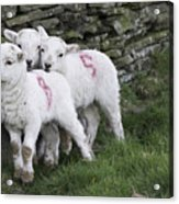 Spring Lambs 2 Acrylic Print