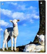 Spring Lambs Evening Light Acrylic Print