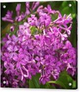 Spring Lilacs On Black Acrylic Print