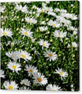 Spring Loyal Love Daisies  Acrylic Print