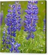 Spring Lupine Acrylic Print