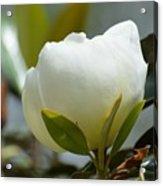 Spring Magnolia Acrylic Print