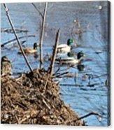 Spring Mallards Acrylic Print