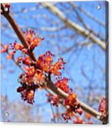 Spring Maple Blossoms Acrylic Print