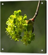 Spring Maple Acrylic Print