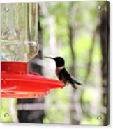 Spring Migration Hummingbird Acrylic Print