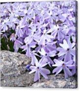 Spring Phlox Acrylic Print