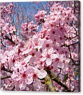 Spring Pink Tree Blossoms Art Print Baslee Troutman Acrylic Print