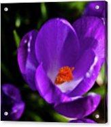 Spring Pollen Acrylic Print