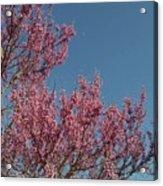 Spring Redbud Tree Acrylic Print