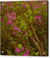 Spring Rhodora Blossoms Acrylic Print