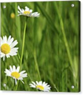 Spring Scene White Wild Flowers Acrylic Print