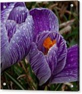 Spring Showered Crocuses Acrylic Print