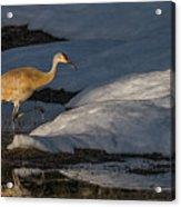 Spring Sunset With Sandhill Crane Acrylic Print