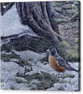 Spring Thaw - American Robin Acrylic Print