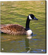 Spring Time Goose Acrylic Print