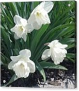Spring Time Trumpets  Acrylic Print