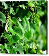 Spring Time Vineyards Acrylic Print