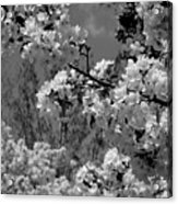 Spring Trees - B And W Acrylic Print