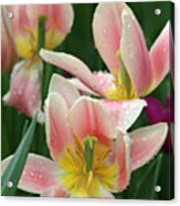 Spring Tulips 151 Acrylic Print