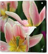 Spring Tulips 152 Acrylic Print