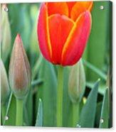 Spring Tulips 211 Acrylic Print