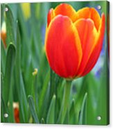 Spring Tulips 214 Acrylic Print