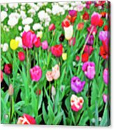 Spring Tulips Flower Field I Acrylic Print