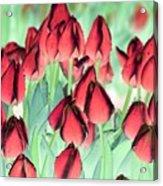 Spring Tulips - Photopower 3012 Acrylic Print