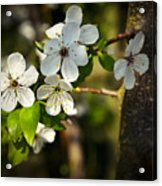 Spring Twig With White Florets Acrylic Print