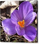 Spring Violet Acrylic Print