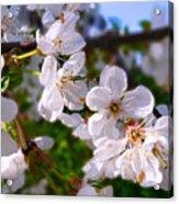 Spring White Acrylic Print