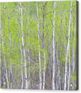 Spring Woods Acrylic Print