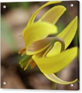 Spring Yellow Flower Acrylic Print