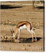 Springbok Acrylic Print
