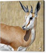 Springbok Portrait Acrylic Print